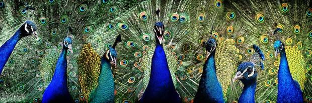 peacock-2459999_1920